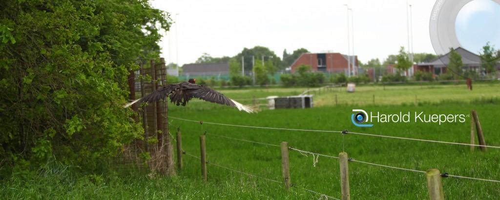 Hoornraaf gespot vogel